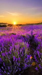 lavendar-sunrise